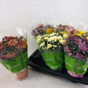 Chrysanthemum HOMERUN MIX