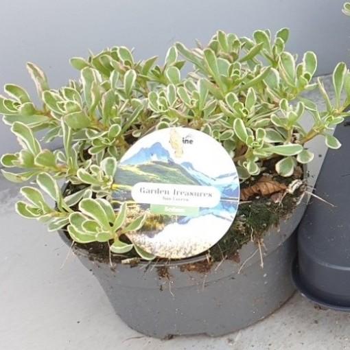 Sedum spurium 'Variegatum' (Leeuw-den Engelsen)