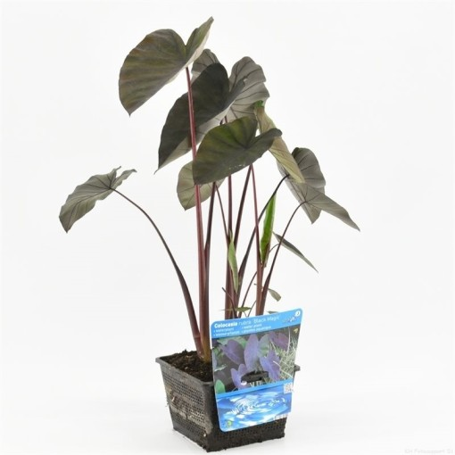 Colocasia 'Black Magic' (Moerings Waterplanten)