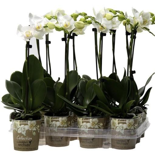Phalaenopsis LITTLE KOLIBRI AMABILIS (OK Plant)