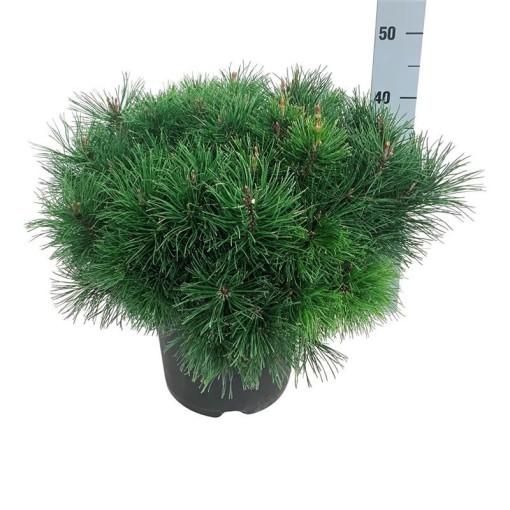 Pinus mugo pumilio (Boomkamp Boomkwekerijen B.V.)