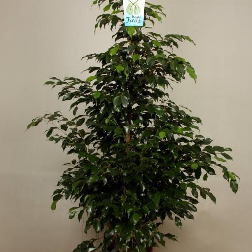 Ficus benjamina 'Midnight Lady' (Kwekerij de Schenkel)