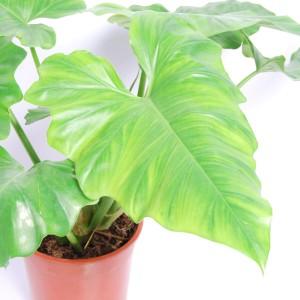 Philodendron cordatum (Van der Arend Tropical Plantcenter)