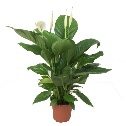 Spathiphyllum ALFETTA (JK Plant)