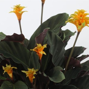 Calathea crocata 'Ventura' (Kwekerij Tass)