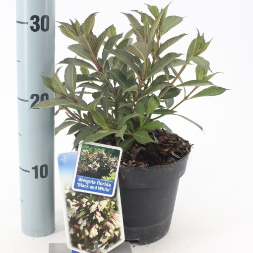Weigela BLACK AND WHITE (About Plants Zundert BV)
