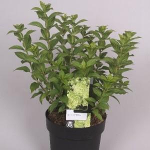 Hydrangea paniculata 'Limelight' (Jesper Mathot Potcultures)