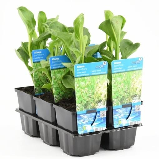 Alisma parviflorum (Moerings Waterplanten)