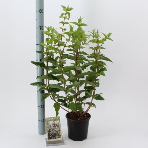 Deutzia scabra (About Plants Zundert BV)