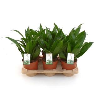 Dracaena fragrans 'Green Jewel'