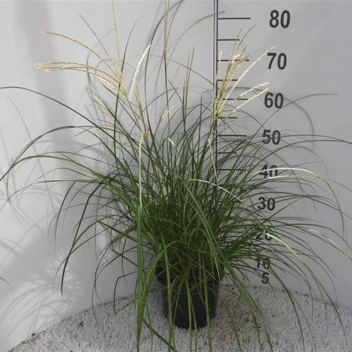 Miscanthus sinensis (Experts in Green)