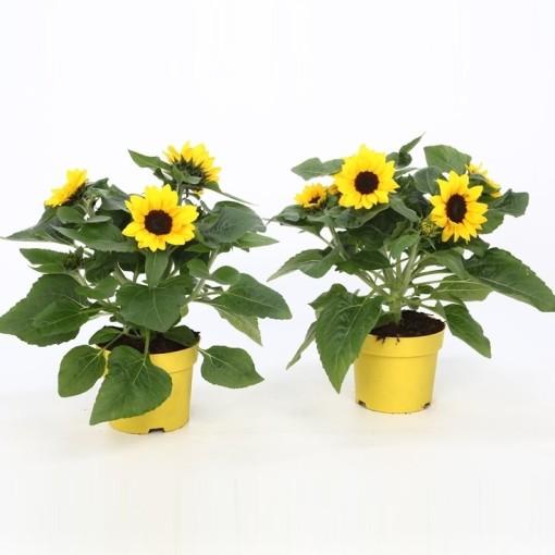 Helianthus annuus (Bunnik Plants)