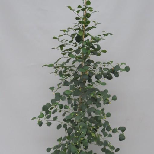 Ficus deltoidea (Snoeker)