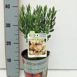 Leucadendron stelligerum 'Harvest'