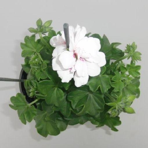 Pelargonium TOSCANA WITTJE (Sonneveld Plants)