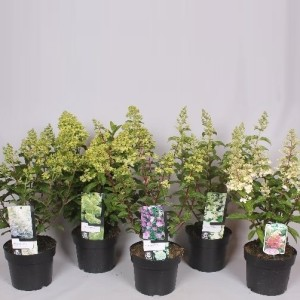 Hydrangea paniculata MIX (Jesper Mathot Potcultures)