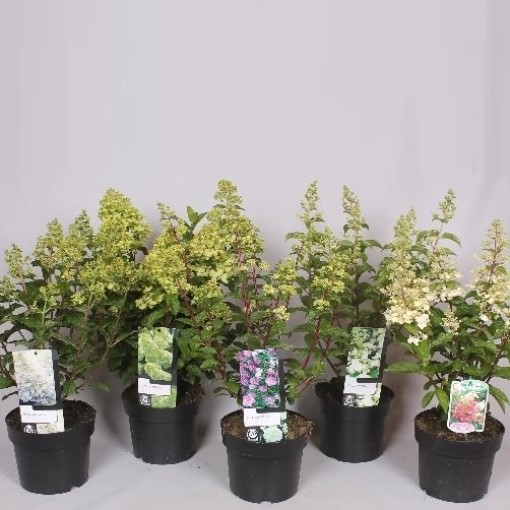 Hydrangea paniculata MIX (Mathot Plants B.V.)