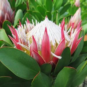 Protea cynaroides 'Little Prince' (Flora Toscana)