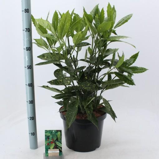 Aucuba japonica 'Variegata' (About Plants Zundert BV)