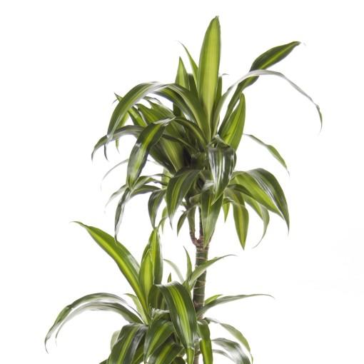 Dracaena fragrans 'Hawaiian Sunshine' (Ammerlaan, The Green Innovater)