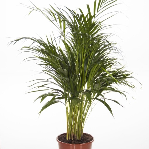 Dypsis lutescens (Ammerlaan, The Green Innovater)