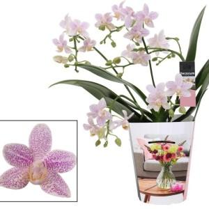 Phalaenopsis LITTLE STAR (Ter Laak Orchids Multiflora)