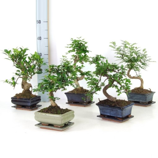 Bonsai MIX (Trendy Bonsai BV)