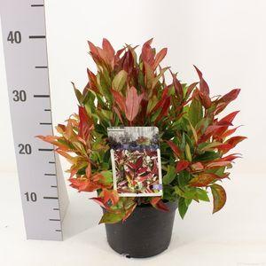 Leucothoe 'Zeblid' (Snepvangers Tuinplanten BV)