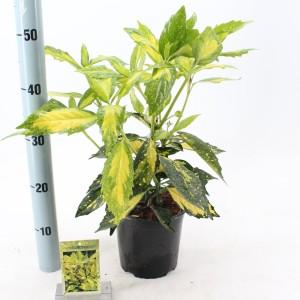 Aucuba japonica 'Picturata'