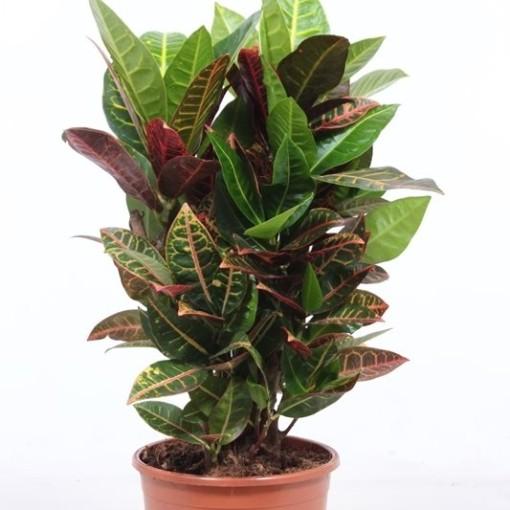 Codiaeum variegatum 'Petra' (Fachjan)