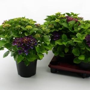 Hydrangea macrophylla HOVARIA HOBERGINE