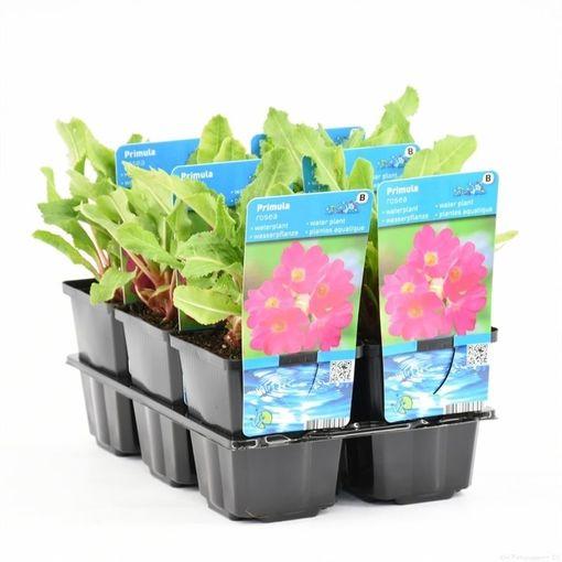 Primula rosea (Moerings Waterplanten)