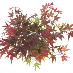 Acer palmatum 'Atropurpureum' (Son & Koot BV)