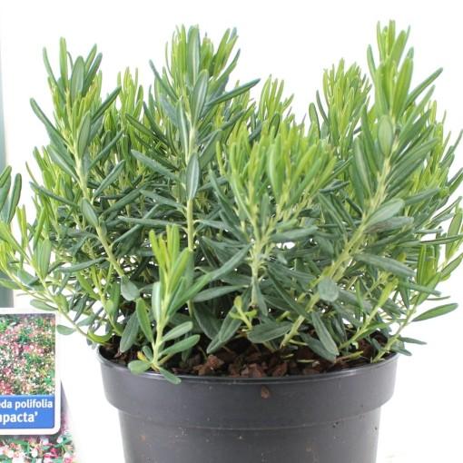 Andromeda polifolia 'Compacta' (About Plants Zundert BV)