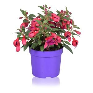 Fuchsia BELLA FUCHSIA MARIA