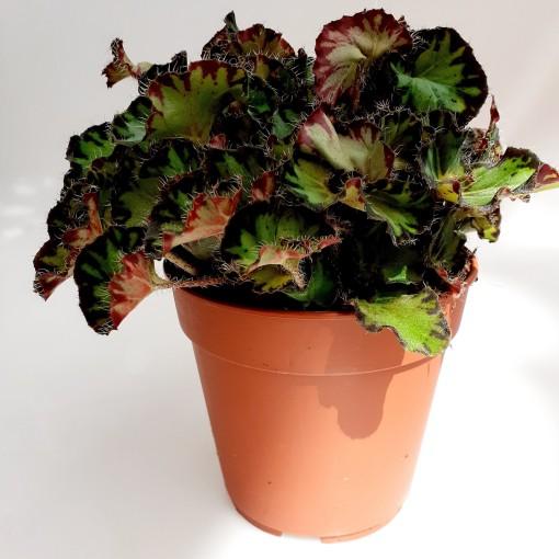 Begonia 'Fem' (van der Velden, Hkw.)