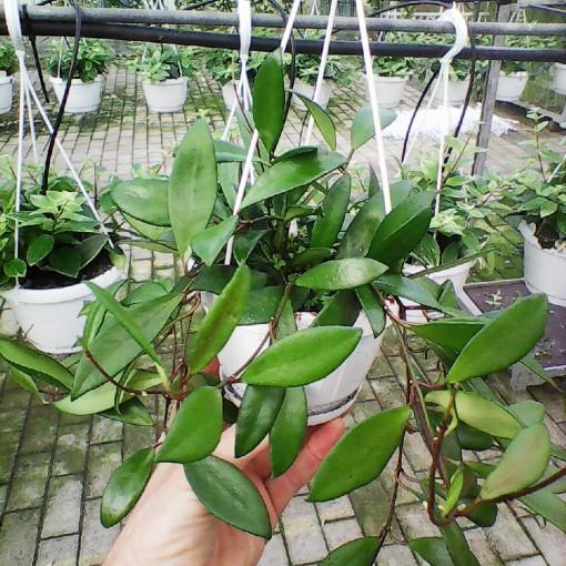 Hoya davidcummingii (Meyst Werner, De)
