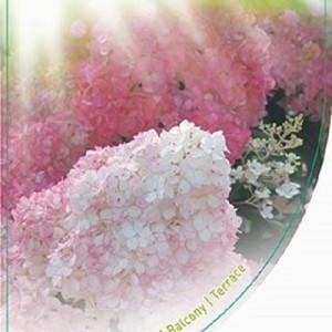Hydrangea paniculata VANILLE FRAISE (Dool Botanic)