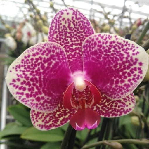 Phalaenopsis FANCY (Leerdam Orchideeën)
