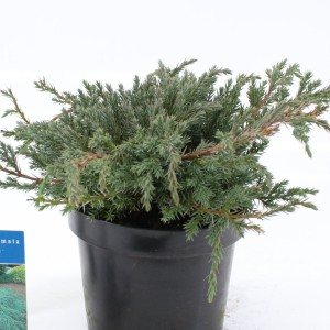 Juniperus squamata 'Blue Carpet' (About Plants Zundert BV)