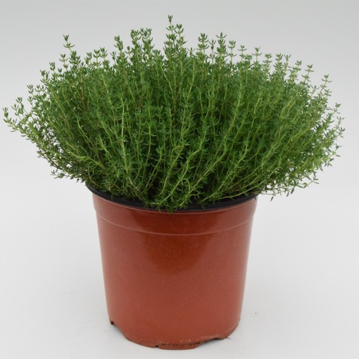 Thymus vulgaris 'Faustini' (Green Collect Sales)