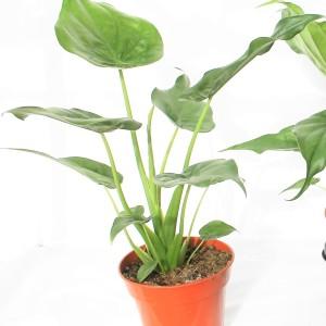 Alocasia cucullata (Ruhé Varens B.V.)