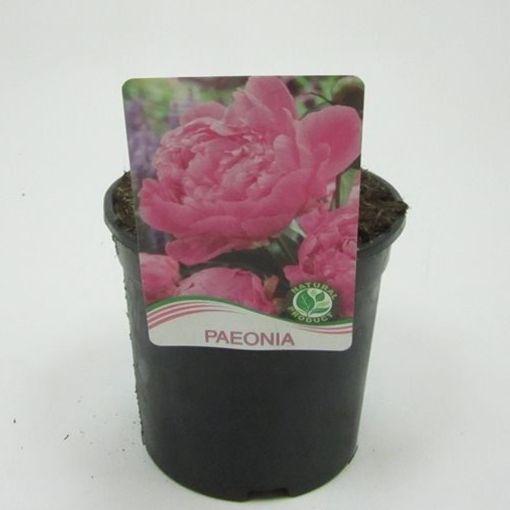 Paeonia 'Sarah Bernhardt' (WTM de Boer)