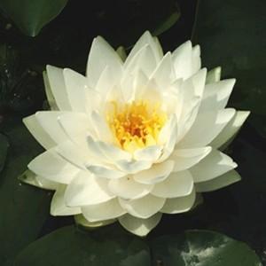 Nymphaea 'Gonnère' (Moerings Waterplanten)