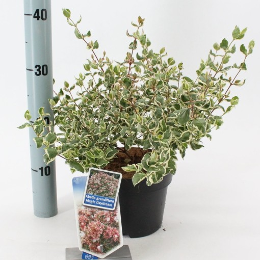 Abelia x grandiflora MAGIC DAYDREAM (About Plants Zundert BV)