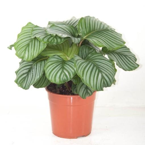 Calathea orbifolia (Ammerlaan, The Green Innovater)