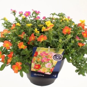 Portulaca MIX IN POT