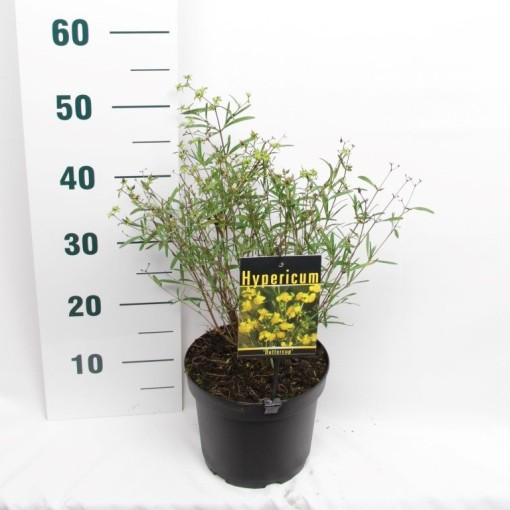Hypericum densiflorum 'Buttercup' (Elst-Bevers)
