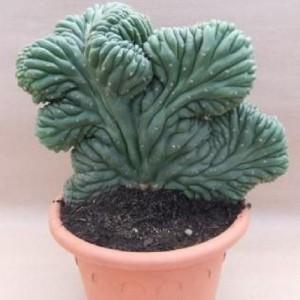 Echinopsis pachanoi cristata