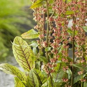 Rumex sanguineus sanguineus (Moerings Waterplanten)